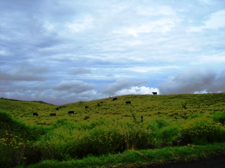 Grass Fed Cows grazing on the Big Island of Hawaii