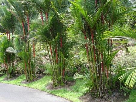 Hilo zoo palm trees